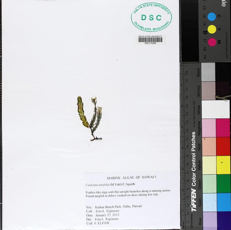 Caulerpa taxifolia image
