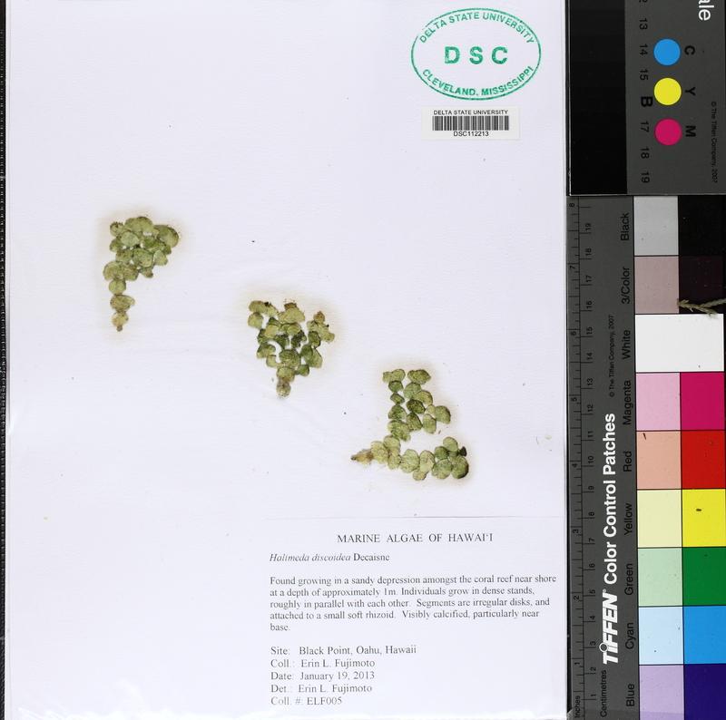 Halimedaceae image