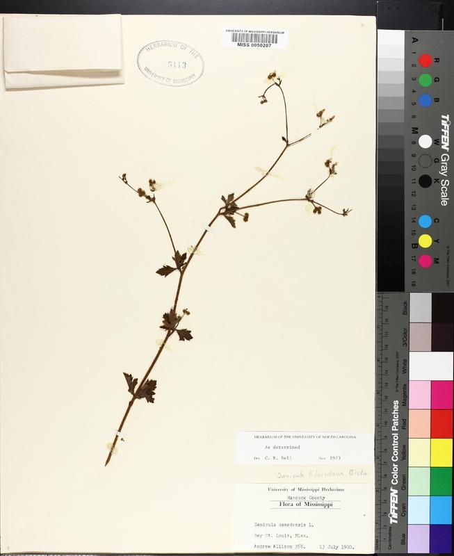 Sanicula floridana image