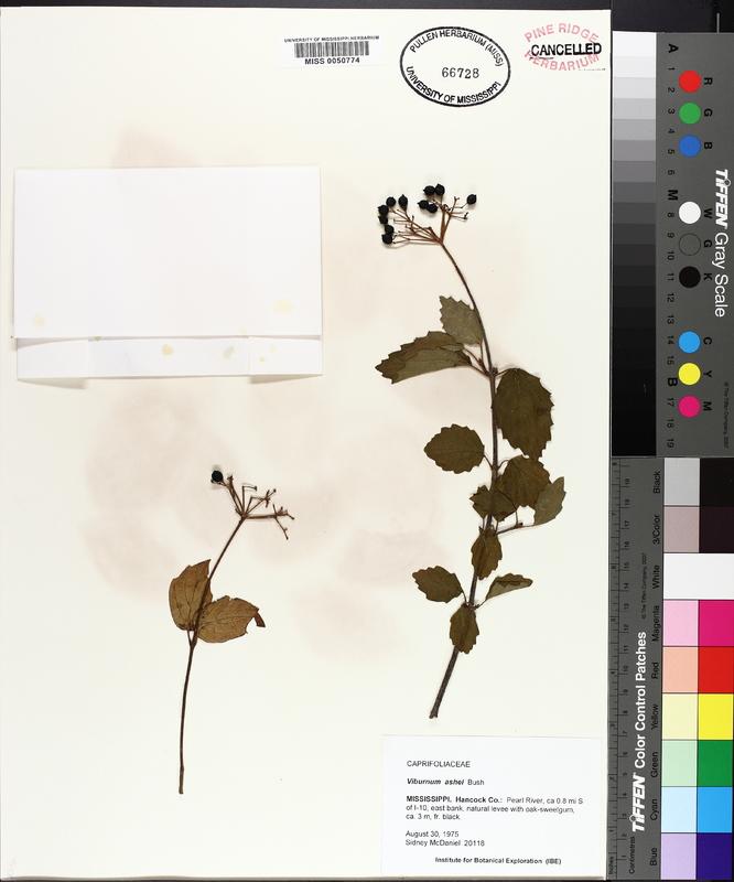 Viburnum ashii image