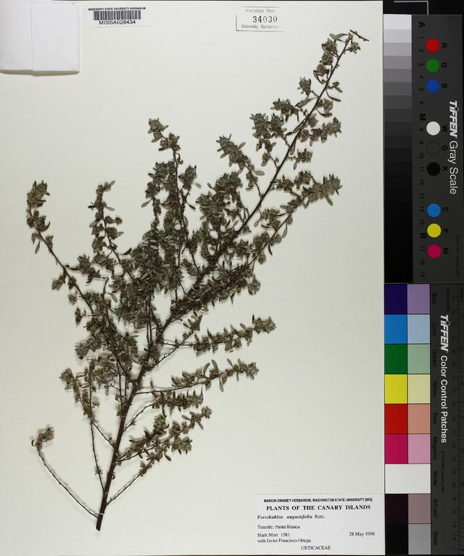 Forsskaolea angustifolia image